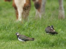 Kibitz (Vanellus vanellus), © Gerhard Reuter, AVES-Ostkantone
