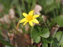 Scharbockskraut (Ranunculus ficaria), © Gerhard Reuter, AVES-Ostkantone