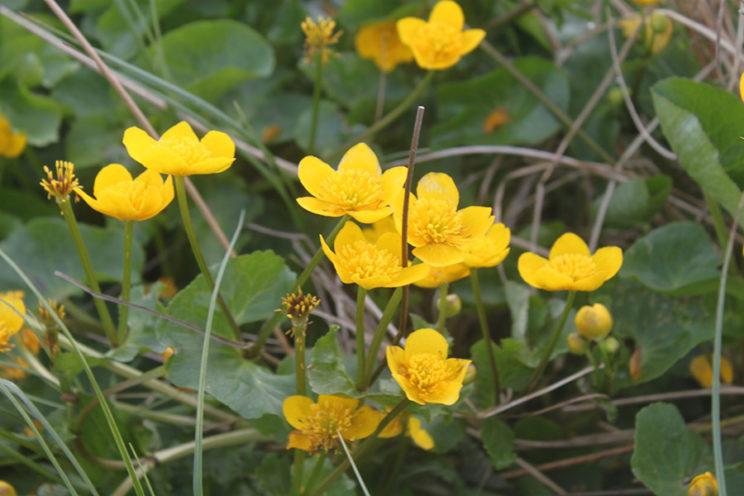 - Sumpfdotterblume (Caltha palustris) -