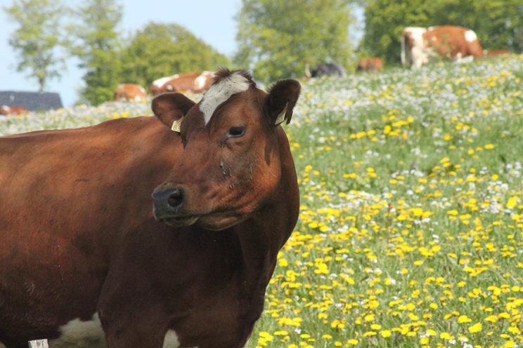 - Alte Eifeler Rinderrasse, die Rotbunte -