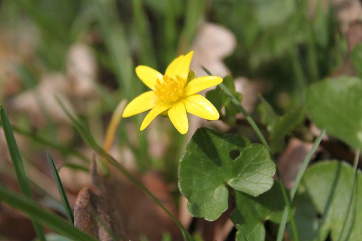 - Scharbockskraut (Ranunculus ficaria) -